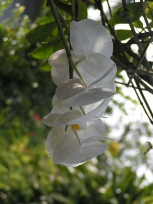 Phong lan ở vùng Tây-Bắc -  Ảnh TNC
