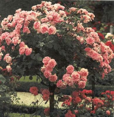Cây hoa hồng trong công viên