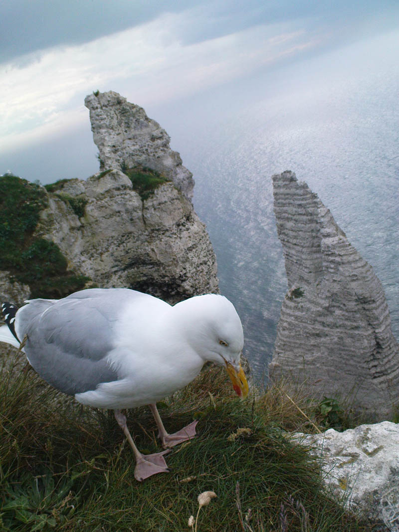 Chim biển (Etretat - Normandie) - ảnh pqv