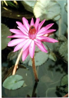 Hoa Súng  -  ảnh NVH