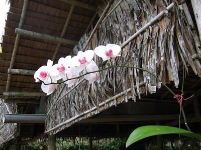 Phong lan