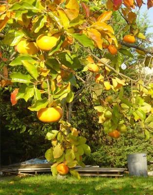 Trái hồng trong vườn mùa thu  -  ảnh T.M.