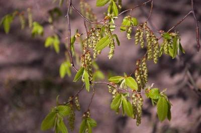 Hạt dẻ, lá và hoa