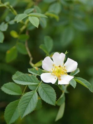Hoa Eglantine  -  ảnh HT