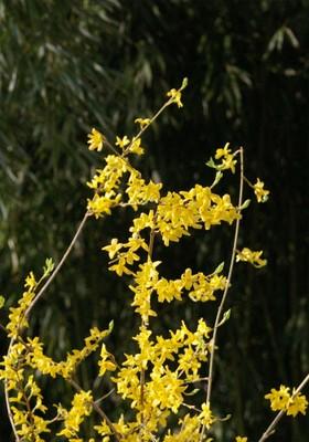 Hoa liên kiều (forsythia)