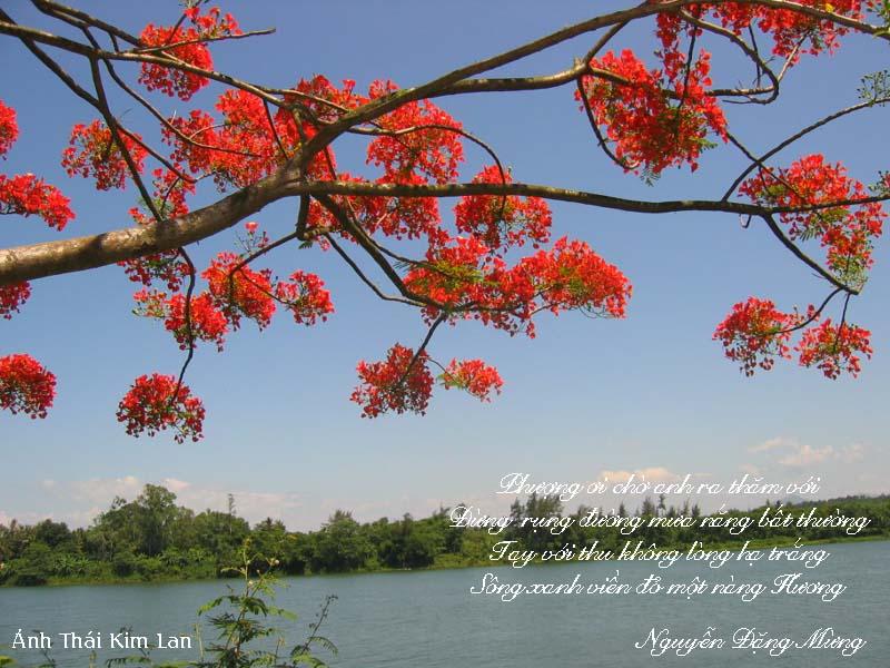Phượng bên bờ sông Hương